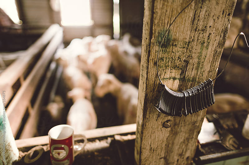 Shearing Blades with Shorn Sheep in Background by Gary Radler Photography for Stocksy United