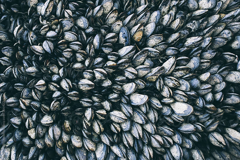 West coast mussels by Micky Wiswedel for Stocksy United