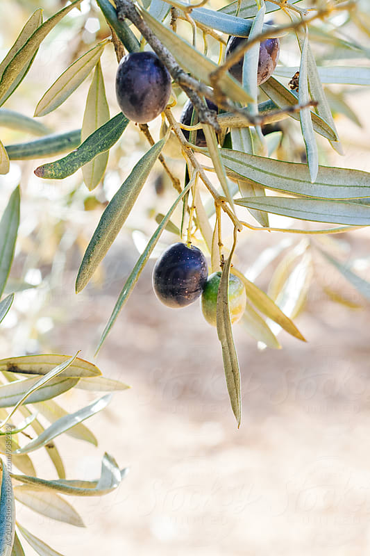 Detail of olives on the tree by ACALU Studio for Stocksy United