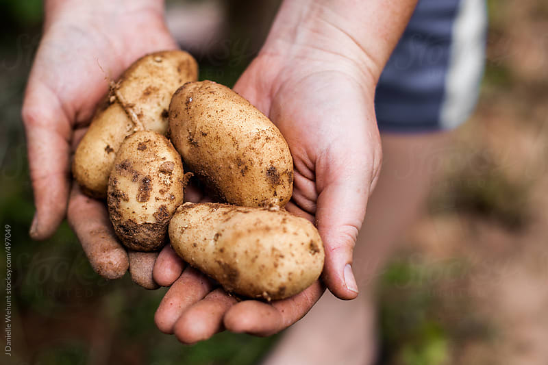 Hands holding freshly dug potatoes by J Danielle Wehunt for Stocksy United