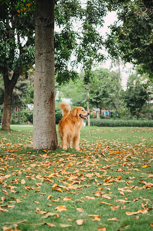 Golden retriever dog by Pansfun Images for Stocksy United