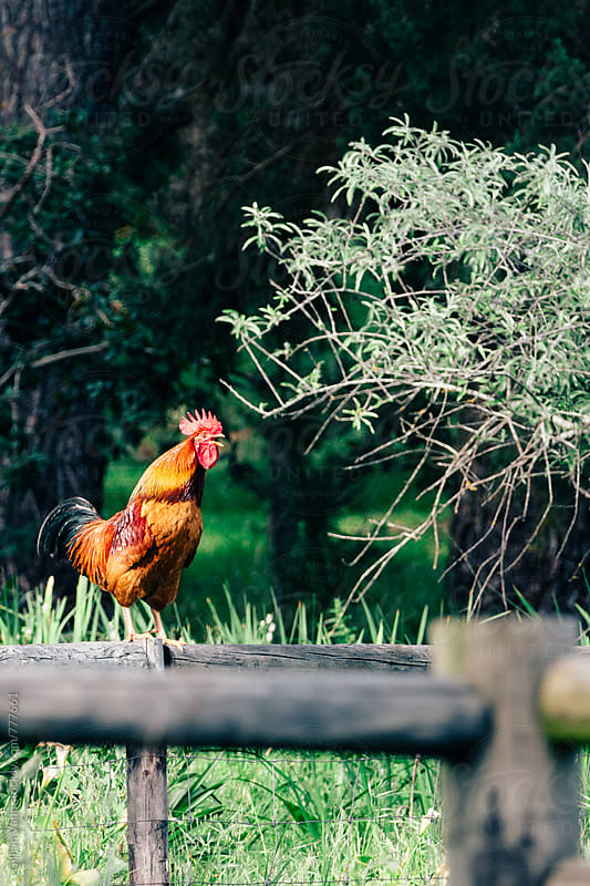 rooster crowing on the fence by Gillian Vann for Stocksy United