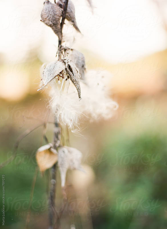Wildflower with white fuzzy seeds by Marta Locklear for Stocksy United