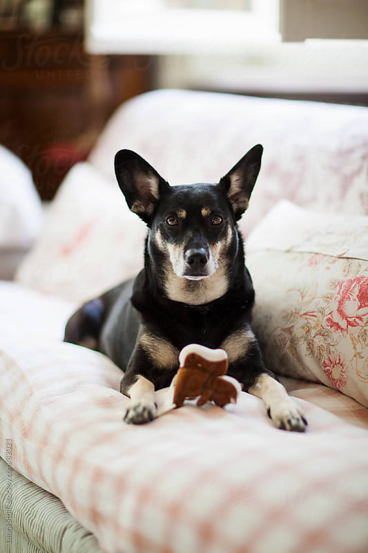 Little crossbreed dog with squirrel shaped stuffed toy looks straight at the camera laying on sofa by Laura Stolfi for Stocksy United