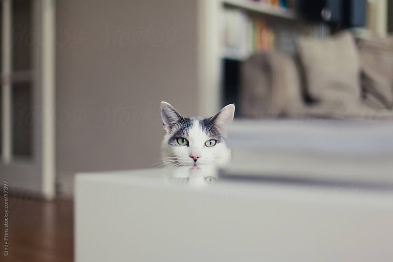 White and grey cat peeking over the table in the living room  by Cindy Prins for Stocksy United