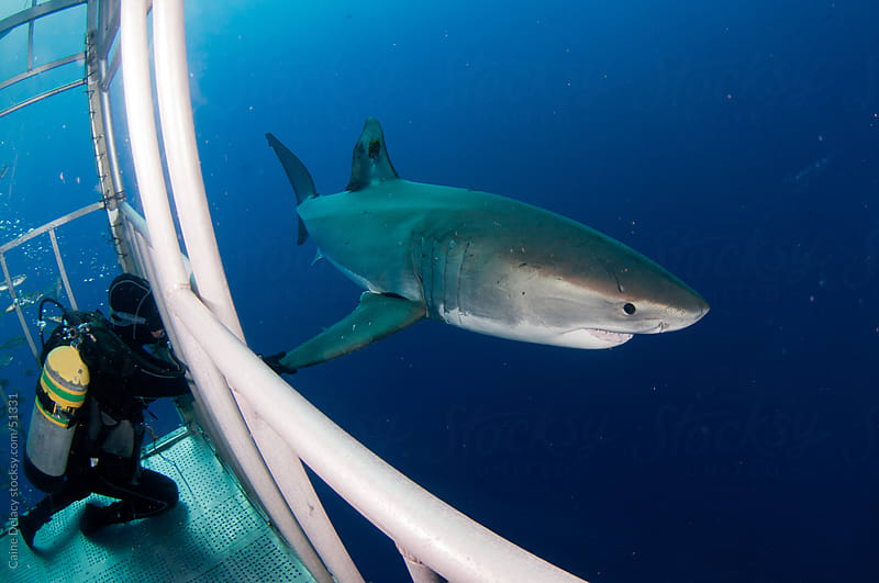 Scuba diver reaches and grabs great white shark froma cage by Caine Delacy for Stocksy United