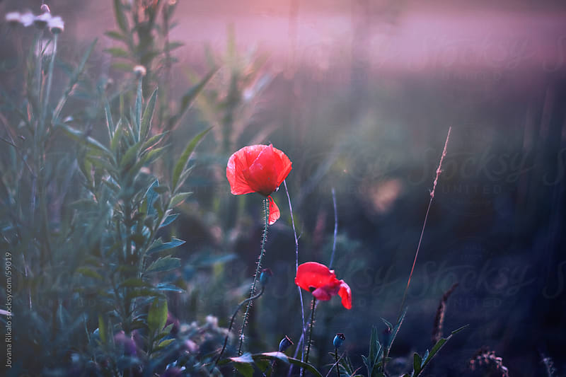 Poppies by Jovana Rikalo for Stocksy United