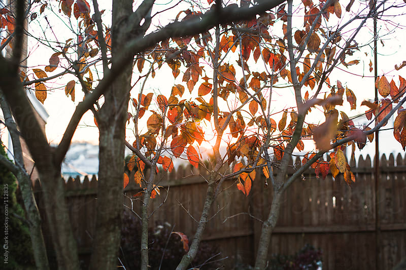 Sunset light shines through fall leaves. by Holly Clark for Stocksy United