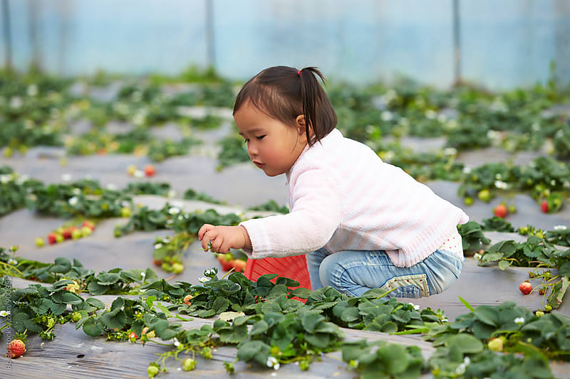 little asian girl picking strawberry  by Bo Bo for Stocksy United