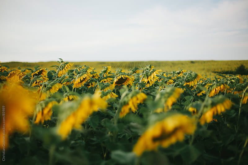 Sunflowers at Sunset by Christian Gideon for Stocksy United