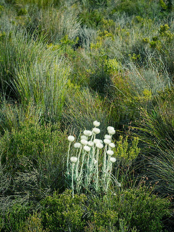 Wild flowers in the Table Mountain National Park near Silvermine by DV8OR for Stocksy United