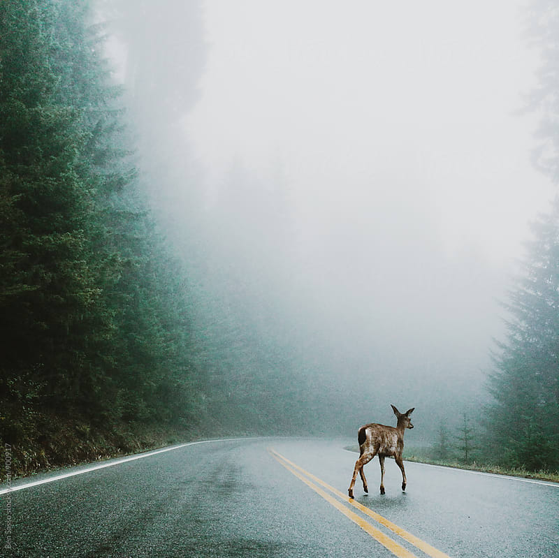 Deer in fog on road by Ben Sasso for Stocksy United