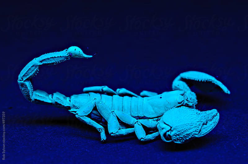 Emperor Scorpion by Rob Sylvan for Stocksy United