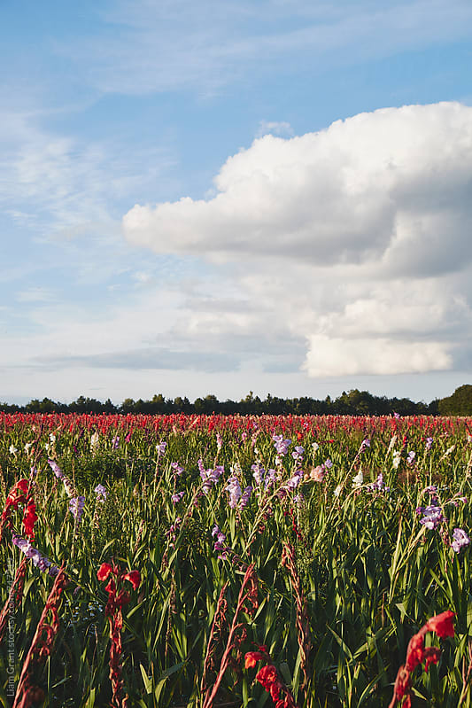 Field of mixed Gladioli flowers growing in evening light. Norfolk, UK. by Liam Grant for Stocksy United