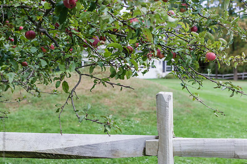 Ripe apples hang on an apple tree. by Holly Clark for Stocksy United