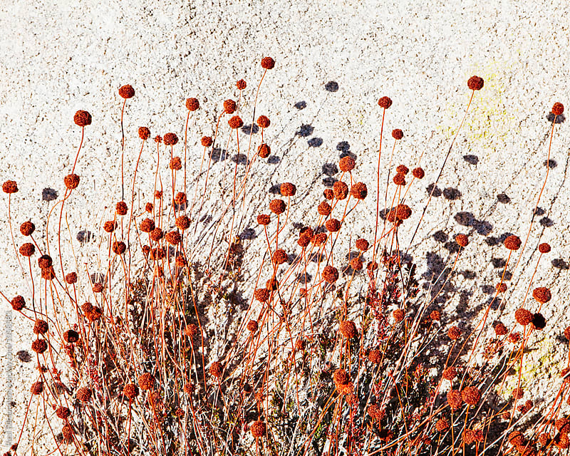 Close up of wildflowers in autumn, Joshua Tree NP, CA by Paul Edmondson for Stocksy United