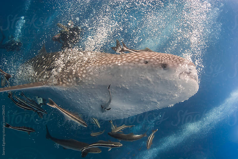 Whale Shark swimming underwater in Thailand by Soren Egeberg for Stocksy United
