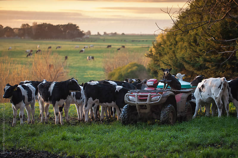 Working Cattle Dog with calves in a field at sunrise by Rowena Naylor for Stocksy United