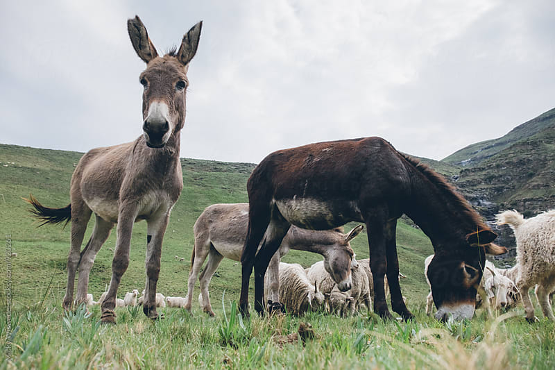 donkeys standing in a field in the Lesotho highlands by Micky Wiswedel for Stocksy United