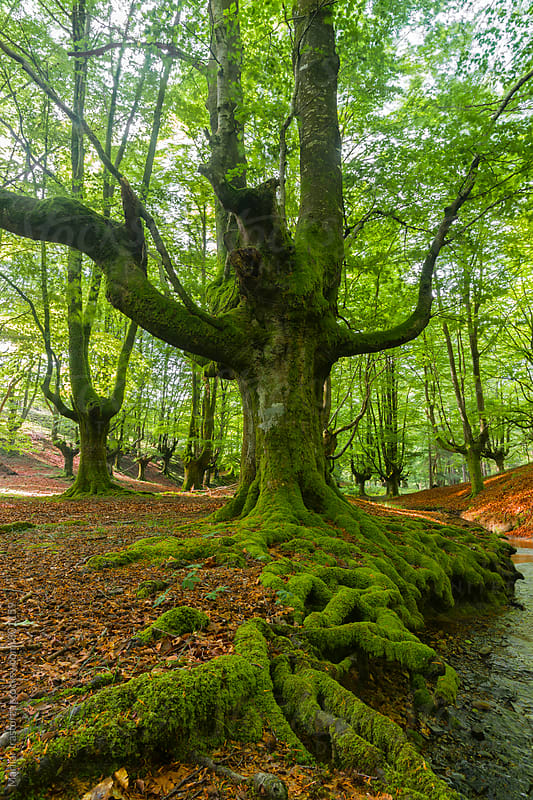 Old beech forest by Marilar Irastorza for Stocksy United