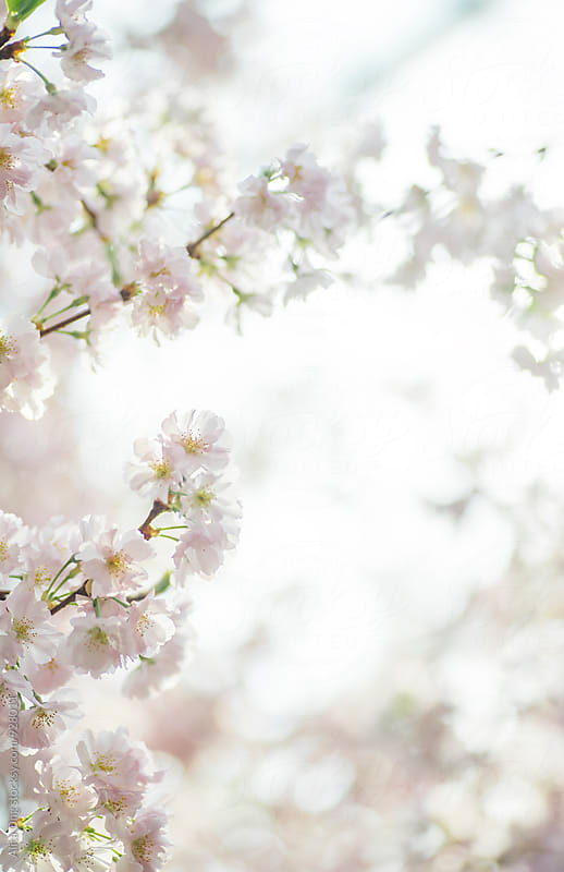Cherry blossom by Alita Ong for Stocksy United
