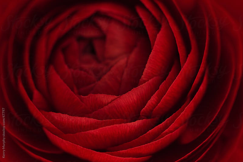 Macro of deep red ranunculus flower bloom by Kerry Murphy for Stocksy United