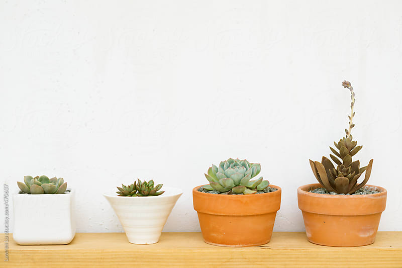 Various Cultivated Plants in Small Pots Aligned at Wooden Stand on White Wall. by Lawren Lu for Stocksy United