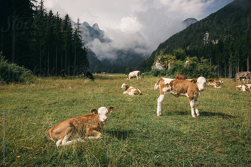 Free Cow on mountains by Mauro Grigollo for Stocksy United