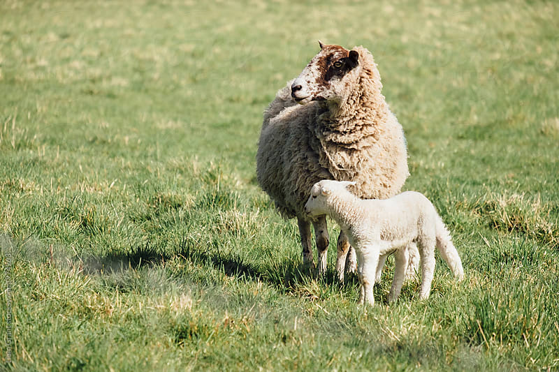 Newborn lamb and its mother in spring. Norfolk, UK. by Liam Grant for Stocksy United