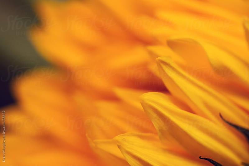 Macro of yellow sunflower petals by Kerry Murphy for Stocksy United