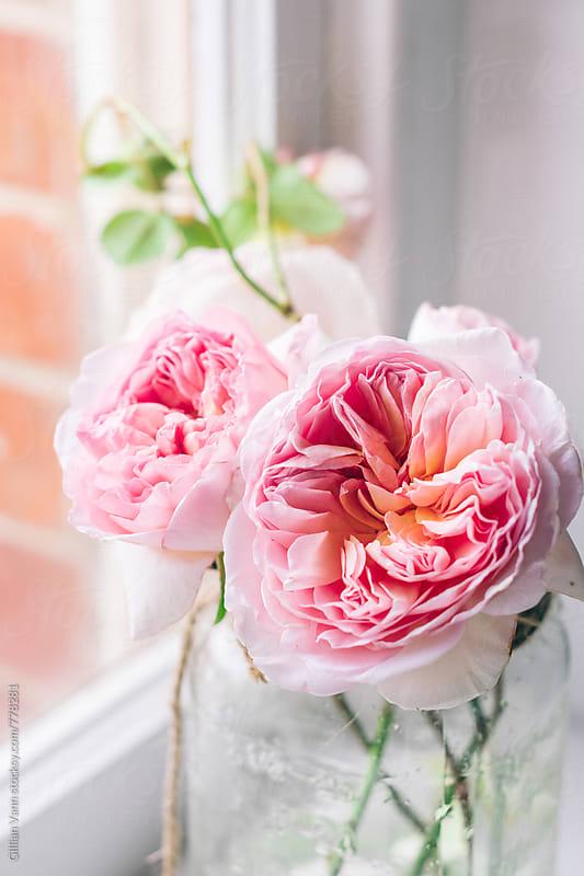 homegrown pierre de ronsard roses in a mason jar by Gillian Vann for Stocksy United