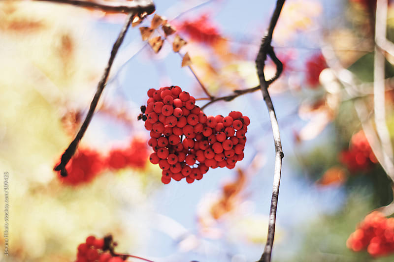 Heart shaped red berries by Jovana Rikalo for Stocksy United
