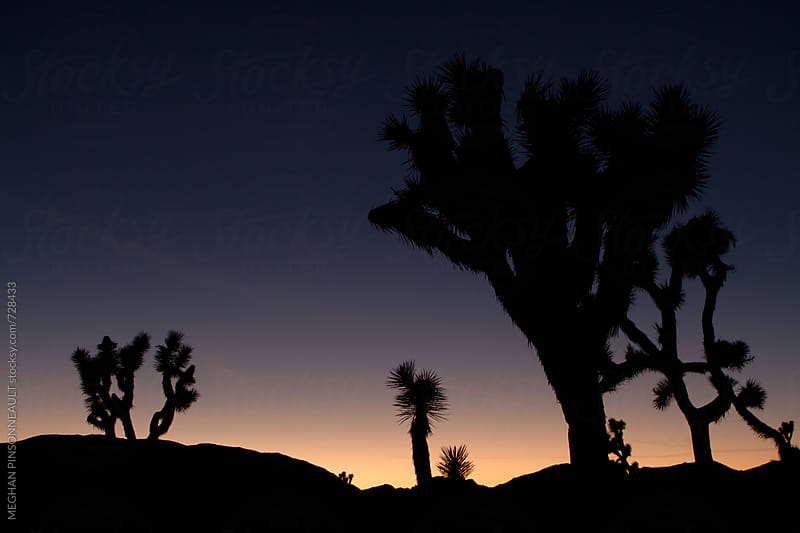 Dreamy Sunset Crowded with Various Joshua Trees by MEGHAN PINSONNEAULT for Stocksy United