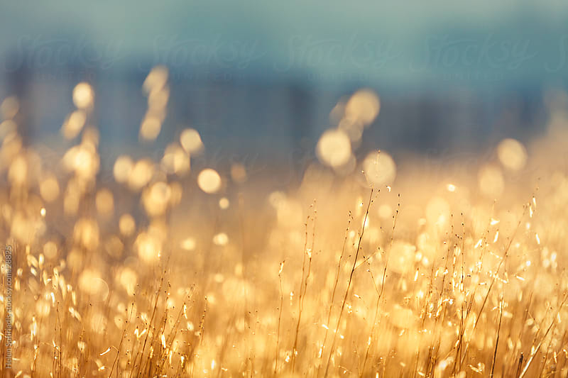 a field of golden grass by Helen Sotiriadis for Stocksy United