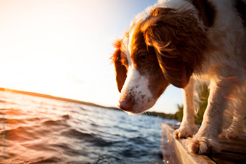 Brittany Spaniel Dog on Cottage Dock by JP Danko for Stocksy United