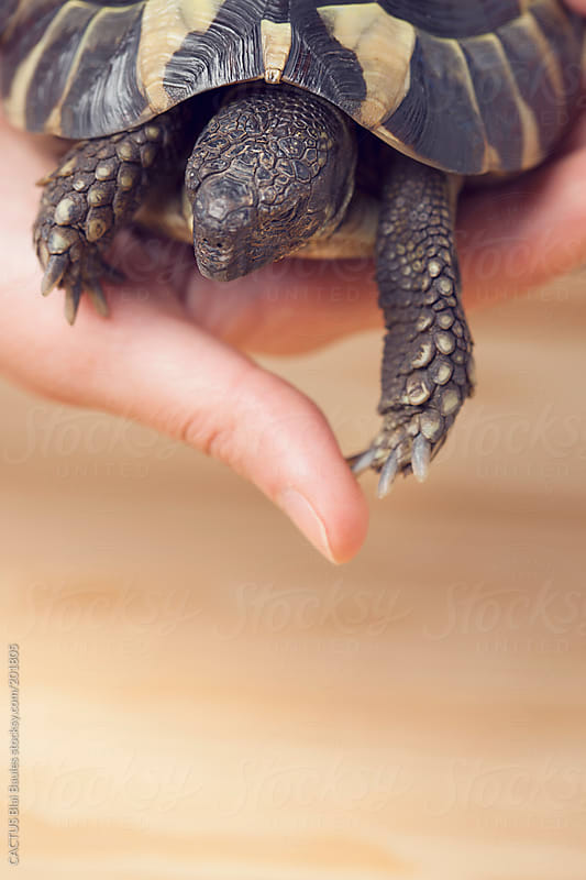 Turtle in a hand by CACTUS Blai Baules for Stocksy United