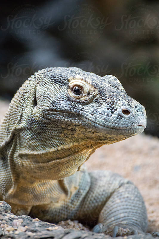 Komodo Dragon looking at camera by ACALU Studio for Stocksy United