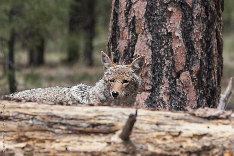 Grand Canyon Coyote by Adam Nixon for Stocksy United