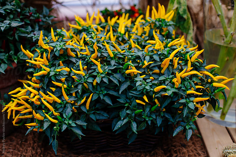 Yellow pepper plant by Andrey Pavlov for Stocksy United