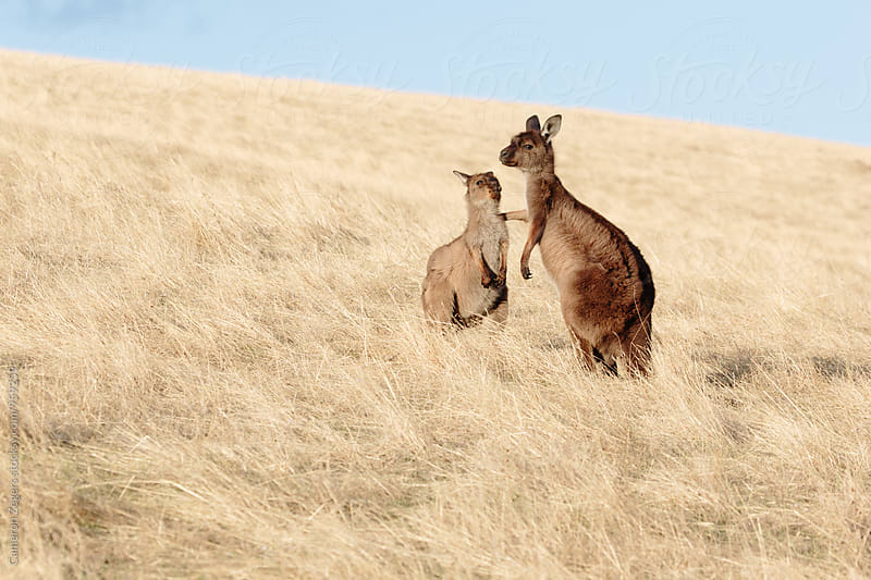 mother and joey kangaroos in grasslands by Cameron Zegers for Stocksy United