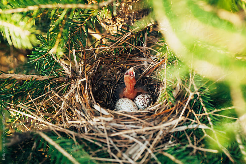 baby sparrow and eggs in a bird's nest by Kelly Knox for Stocksy United