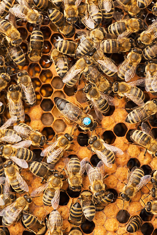 Queen bee and worker bees on honeycomb by Urs Siedentop & Co for Stocksy United