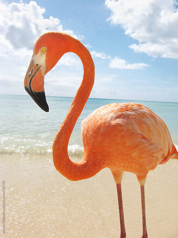 Pink flamingo standing on a tropical beach in the Caribbean.  by Jovana Milanko for Stocksy United