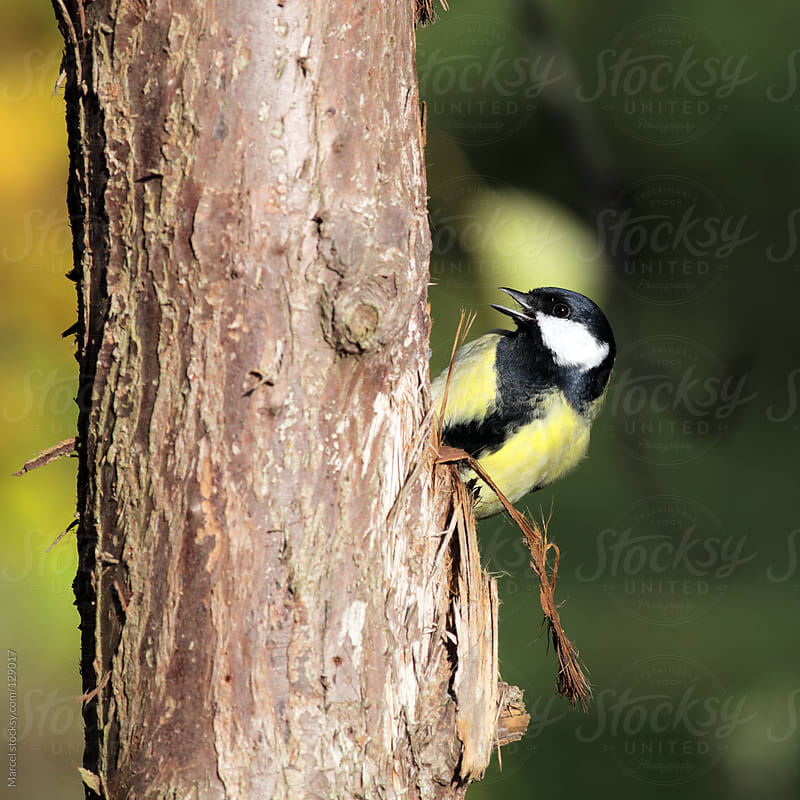 Great tit hanging onto the trunk of a tree by Marcel for Stocksy United