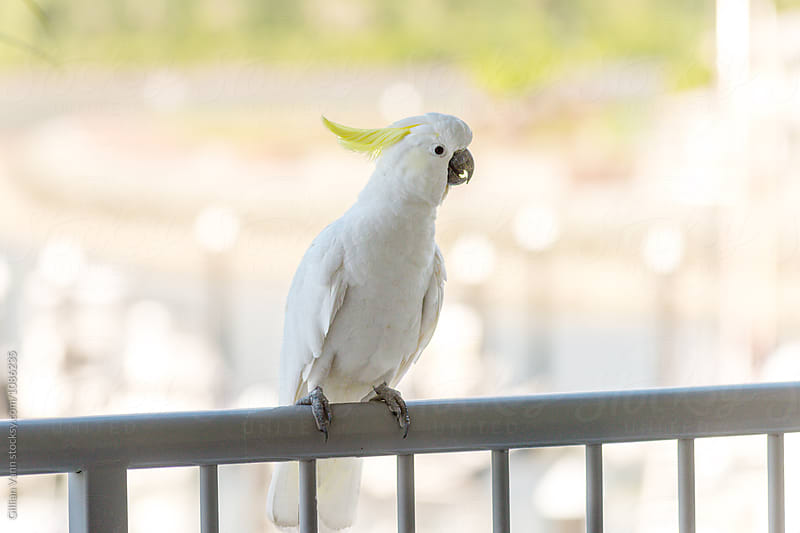 sulphur crested cockatoo on a balcony railing by Gillian Vann for Stocksy United
