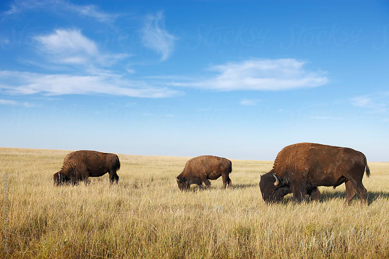 Three Bison by Paul Tessier for Stocksy United