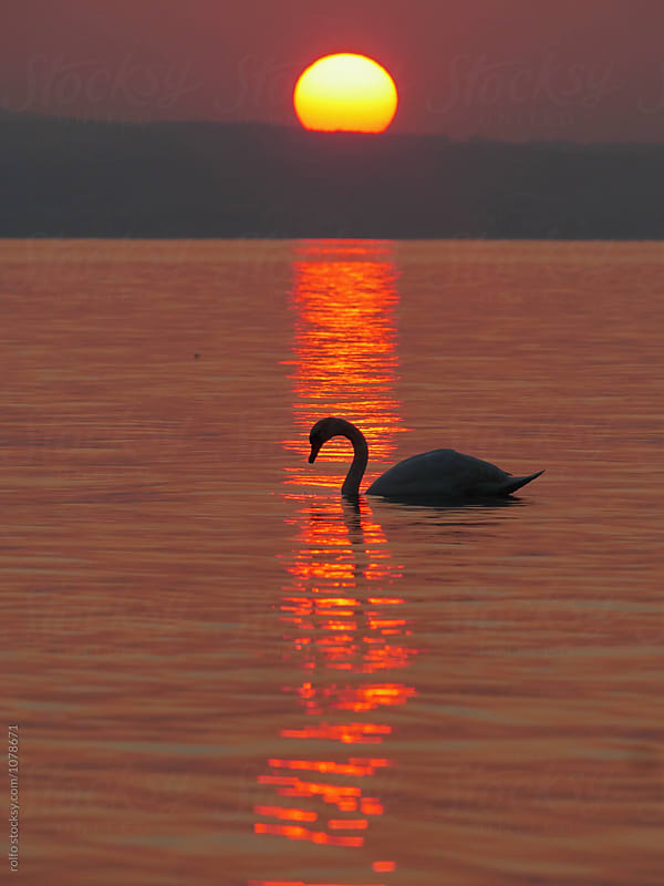 swan by the lake on sunset by rolfo for Stocksy United