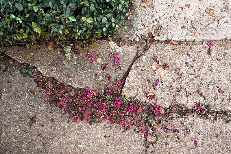 A Cracked Sidewalk With Pink Fallen Flowers  by Alison Winterroth for Stocksy United