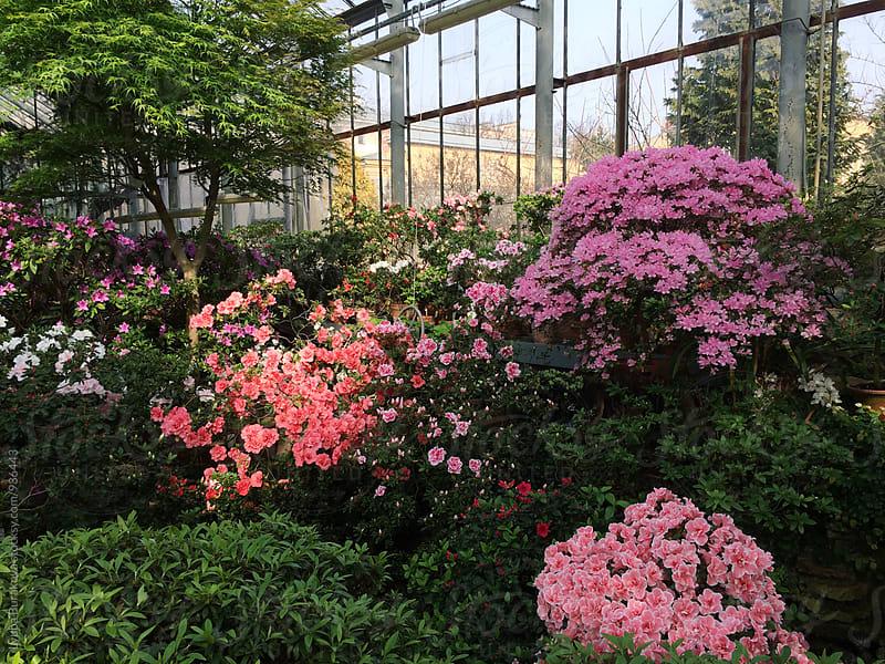 Azalea in a botanical garden  by Liubov Burakova for Stocksy United