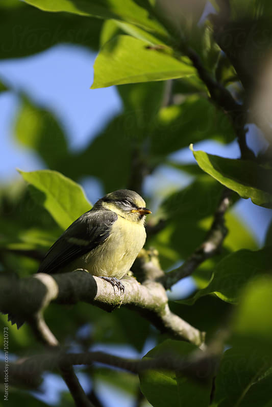 Sleepy young blue tit by Marcel for Stocksy United